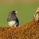 Junco on Mossy Log by Bill McMullen