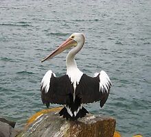 A Pelican at Pelican, NSW by PollyBrown