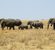 African Elephants, Serengeti, Tanzania  by Carole-Anne