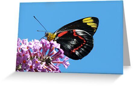 Common (Black) Jezebel, Delias nigrina 2 by Trish Meyer
