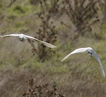 My most common viewpoint of the egrets today by Ron Co