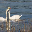 Swans of the Medway by Corrine Symons