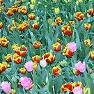 Tulips in Australia by AgirlnamedfREd