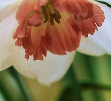 Salmon Trumpeted Narcissus by T.J. Martin