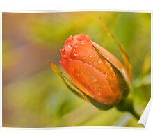 Morning Rose Poster