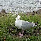 Seagull by Steven Mace