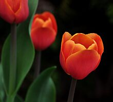 a perfect red tulip by 1busymom