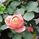 baroque rose II by Faith Puleston