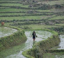 rice fields. sapa. vietnam by Tom Shapland