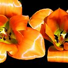 Tangerine Tulips © by Dawn M. Becker