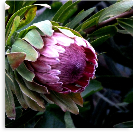 Pink Ice Protea by Jane  mcainsh