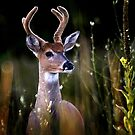 Velvet Buck by Robert  Mackert