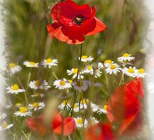 Poppy by Richard Downes