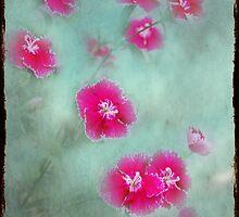 Sweet William by Rozalia Toth