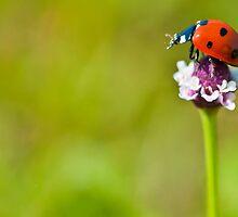 macro Lonely Ladybug by Aaron Siebens