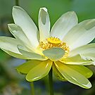 Yellow florida water lilly by jozi1