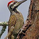 Cardinal woodpecker by jozi1