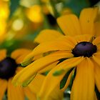 Black Eyed Susan Flowers by Rae Tucker