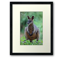 Black Wallaby or Swamp Wallaby Framed Print