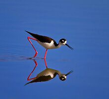 Black Necked Stilt by John Absher