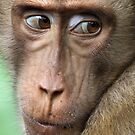 Watching Carefully. Pig-tailed Macaque Portrait. Borneo.  by Carole-Anne