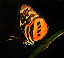 Ismenius Longwing: orange butterfly on black by Steve