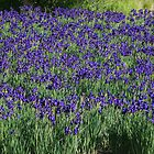 A field of Blue Iris by Karen Kaleta