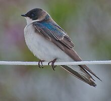 male tree swallow by KathleenRinker