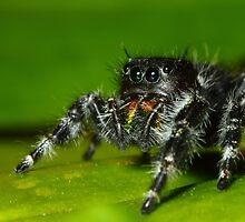 daring jumping spider (phidippus audax) by FLLETCHER