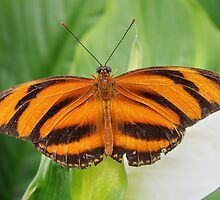 BANDED ORANGE HELICONIAN by Johan  Nijenhuis