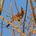 Pyrrhuloxia (Male) ~ Sunset Sir by Kimberly Chadwick