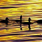 golden sunset lit water with ducks by dedmanshootn