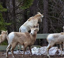 Bighorn Sheep by JamesA1