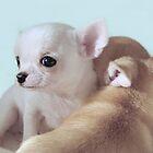 Sweet chihuahua puppies by MayJ
