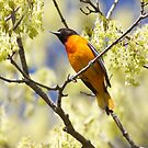 Baltimore Oriole by withacanon