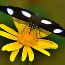 Diadem Butterfly on Yellow Flower by Steve