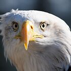 Inquisitive Bald Eagle by Derek McMorrine