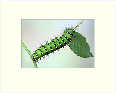 Saturnia caterpillar by jimmy hoffman