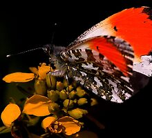 Orange Tip by snapdecisions