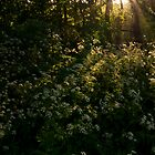 Queen Anne's Lace illuminated on the woodland floor by David Isaacson