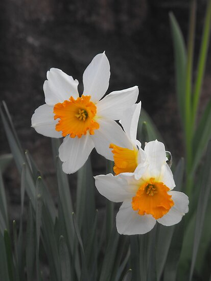 Spring Daffodils by Sharksladie