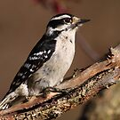 Downy Woodpecker / Female by naturalnomad