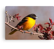 Baltimore Oriole In Crabapple Canvas Print