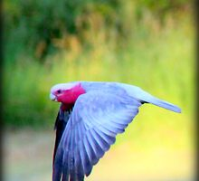 Flying Galah by ChezImages