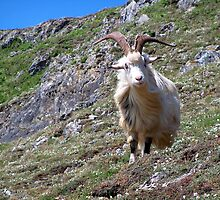 Mountain Goat by hootonles