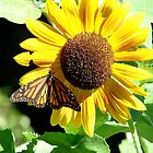 Sunflower Butterfly by ProgNozzle