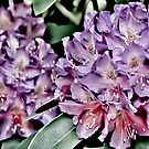 Rhododendrons in Bloom by Karen Kaleta