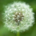 Details of a Dandelion by Tim Harper