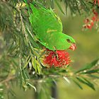 Scaly Breasted Lorikeet by Tim Harper