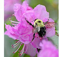 Bumble Bee - Pink Azalea Photographic Print